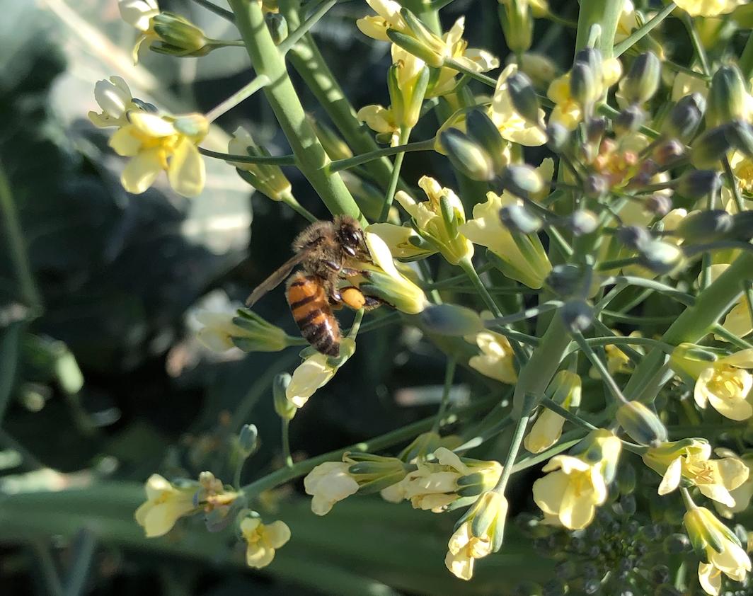 bee-on-broccoli-flower-head-at-queen-creek-botanical-gardens